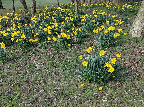 Daffodils , Balbirnie