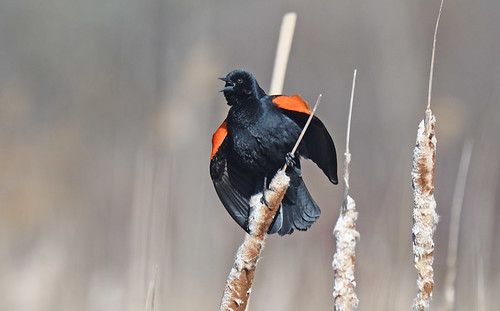 Red-winged Blackbird - High Acres Nature Area - © Dominic Sherony - Mar 20, 2021