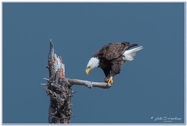 Bald Eagle Adult _ just landed.