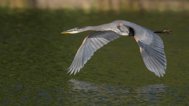 Great Blue Heron  3412