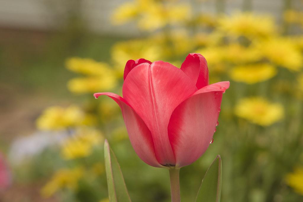 The 1st tulip