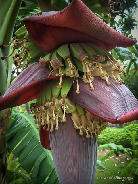Musa acuminata × Musa balbisiana