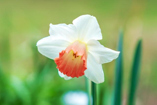 Narcissus : スイセン (水仙)