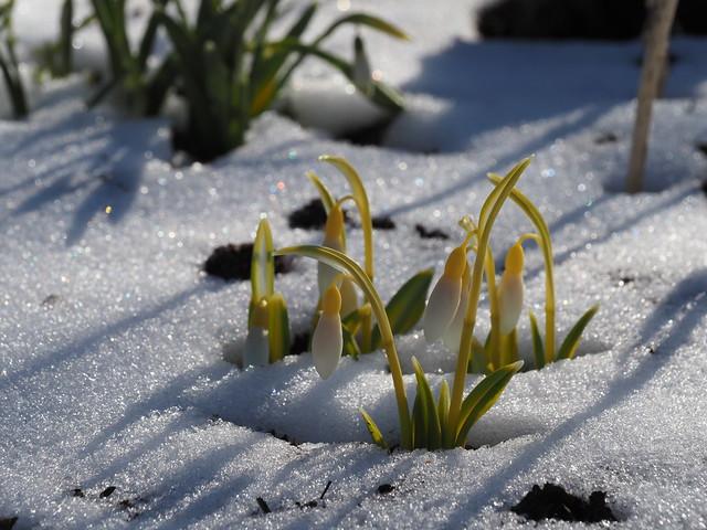 Galanthus plicatus 'Wendy's Gold'