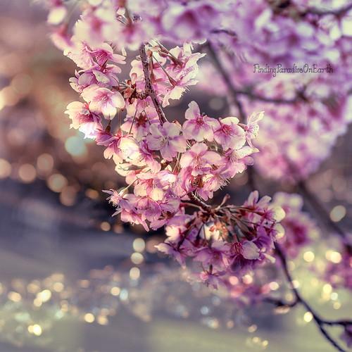 Dark pink cherry blossoms