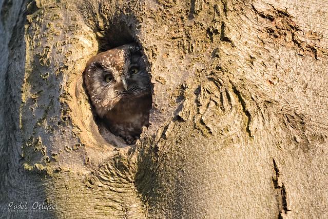 Boreal owl, sýc rousný, CZE, 2021