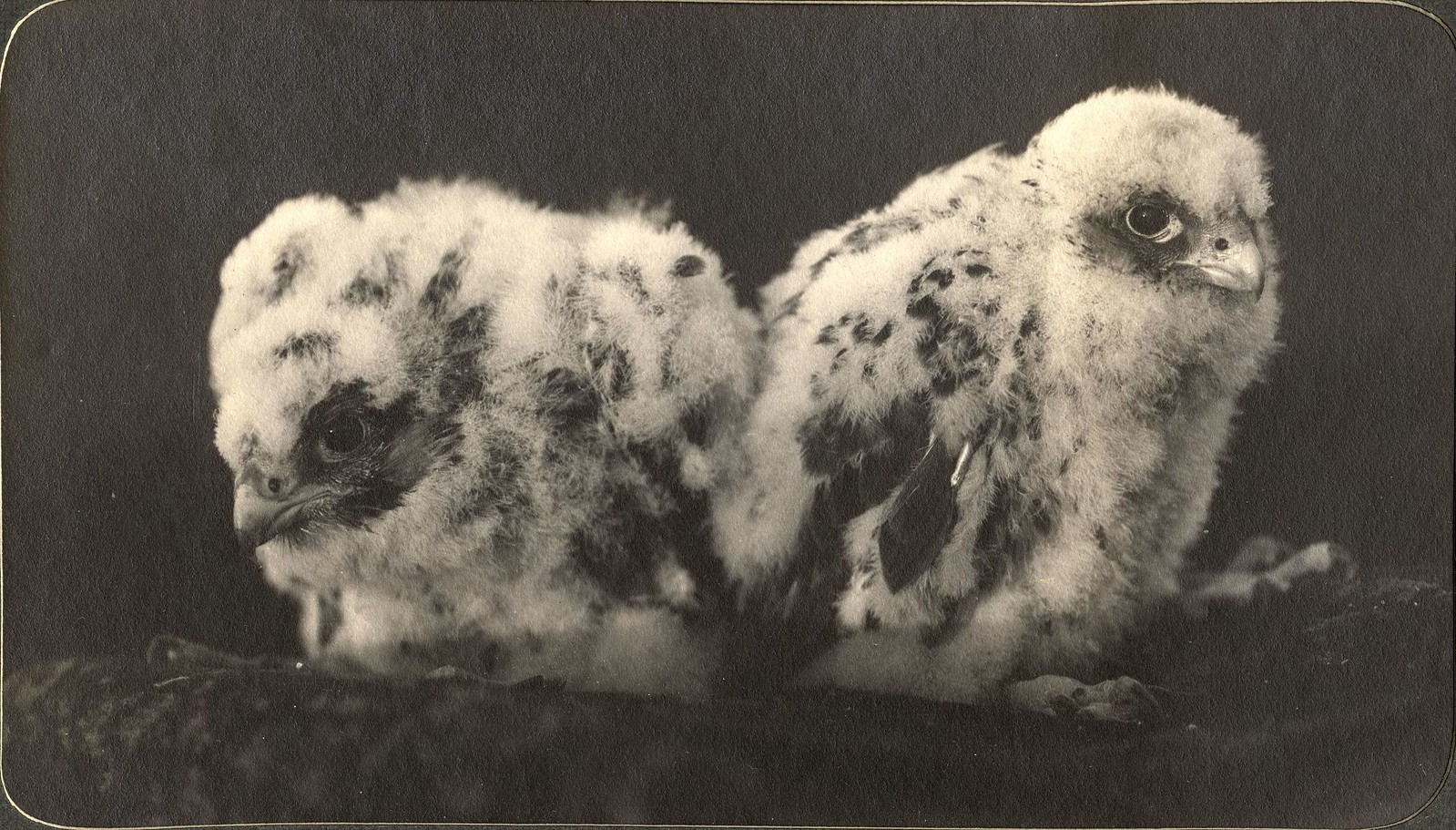 Птенцы орла с низовьев реки Зеи