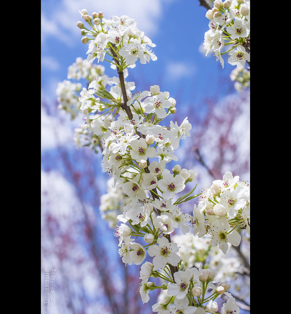 Bradford Pear Flowers - Cookeville, Tennessee