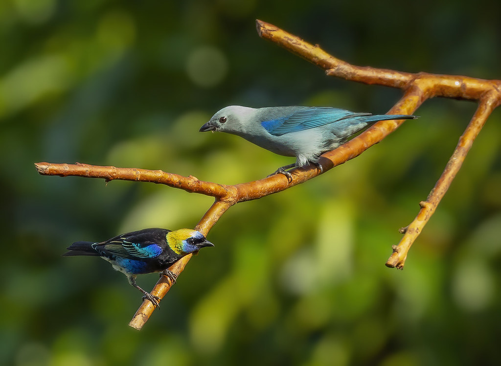 Golden-hooded Tanager (Tangara larvata) and Blue-gray tanager / Blátáni (Thraupis episcopus)