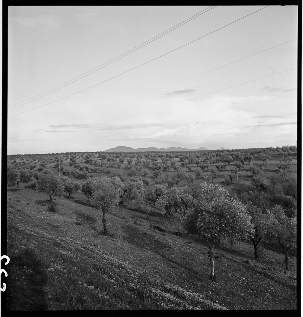 Olivar en las cercanías de Toledo en 1941. Fotografía de Thérèse Bonney © The Bancroft Library, University of California, Berkeley