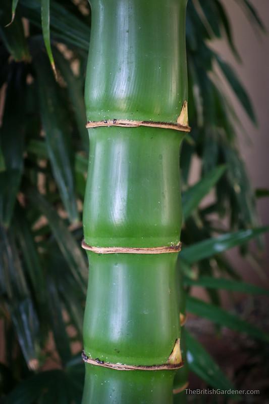 Bambusa vulgaris 'Wamin'