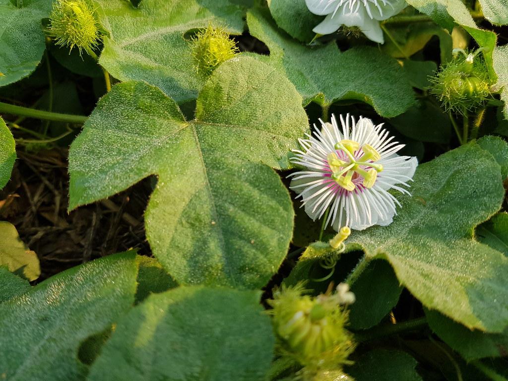 Passiflora foetida L.  Passifloraceae - fetid passionflower, กะทกรก