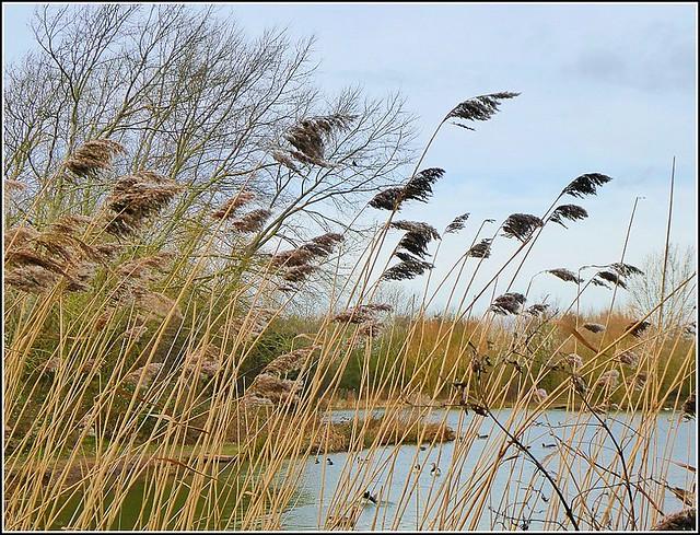 Water Reeds ..