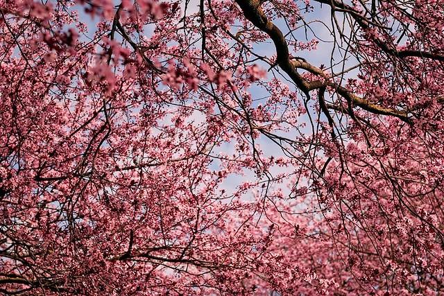 Sale (AL) - Prugno (Plum tree)
