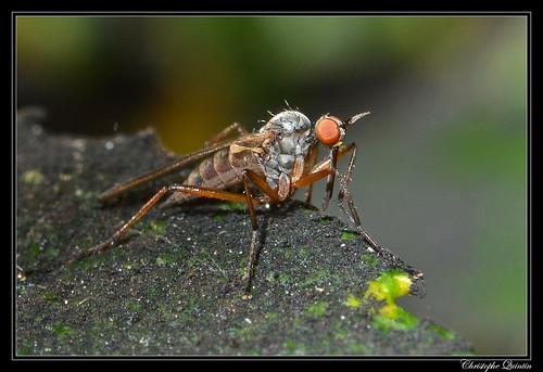 Rhamphomyia variabilis
