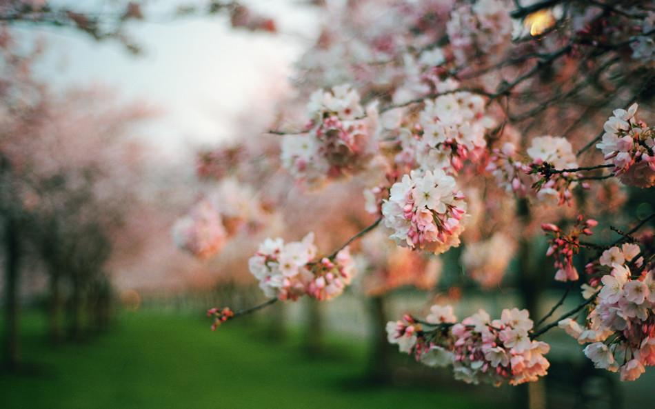 sakura week: day five