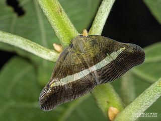 Moth-like planthopper (Pochazia transversa) - P3216181