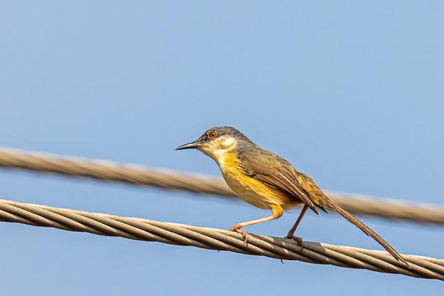 Ashy prinia (Prinia socialis), Magadi Bird Sanctuary