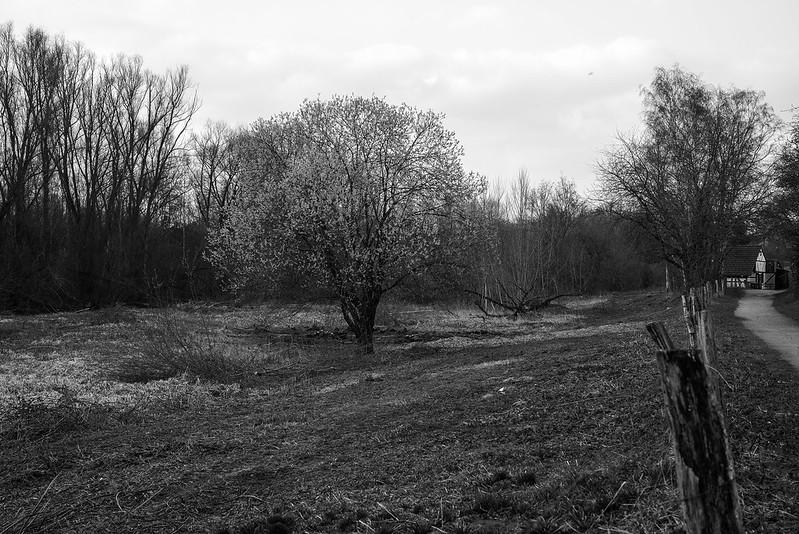 Salix gracilistyla 2 @ walking path