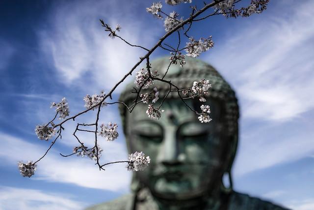 Cherry Blossom & The Kamakura Daibutsu