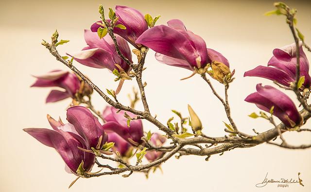 la magnolia è anche un fiore