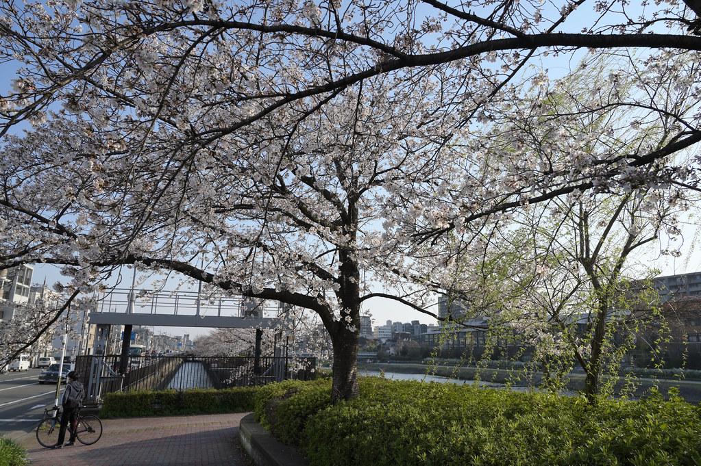 京都岡崎の2021年桜 7