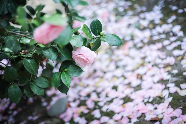 carpeted petals