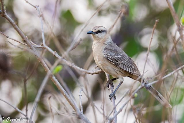 Sinsonte calandria, Mimus saturninus, Chalk-browed mockingbird