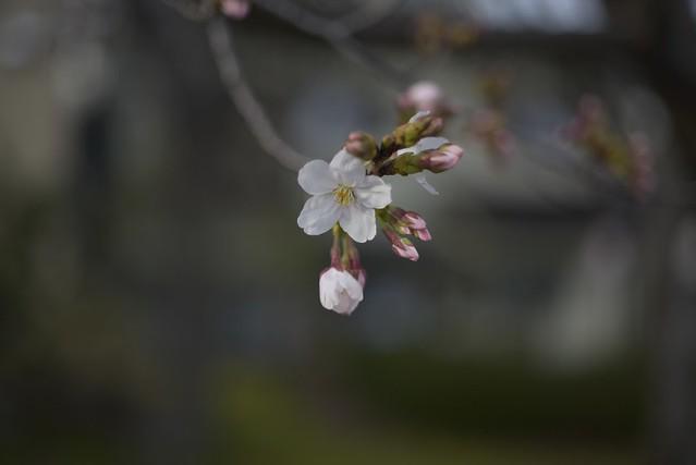 Spring Time 8 開花宣言!
