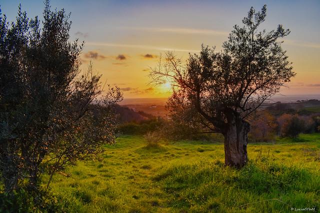 Olive Trees Sunset - Tramonto Campagna Italiana
