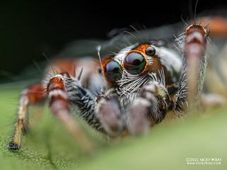 Jumping spider (Telamonia festiva) - P3206075