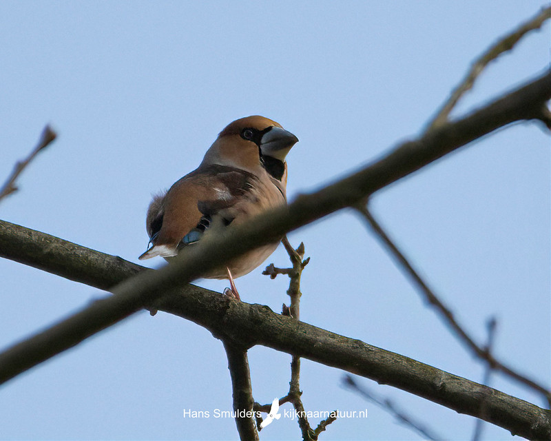 appelvink (Coccothraustes coccothraustes)-850_2406
