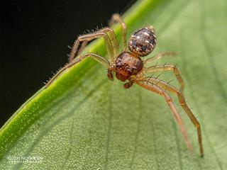 Crab spider (Philodamia variata) - P3206064