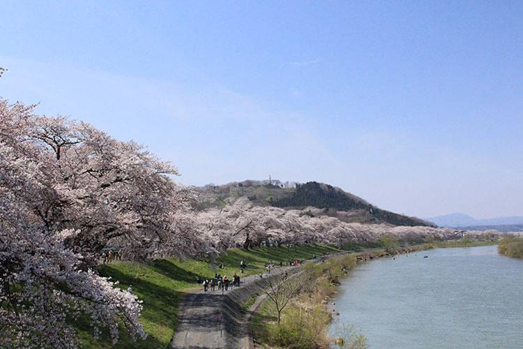 cherry blossoms lining the Shiroishi river bank