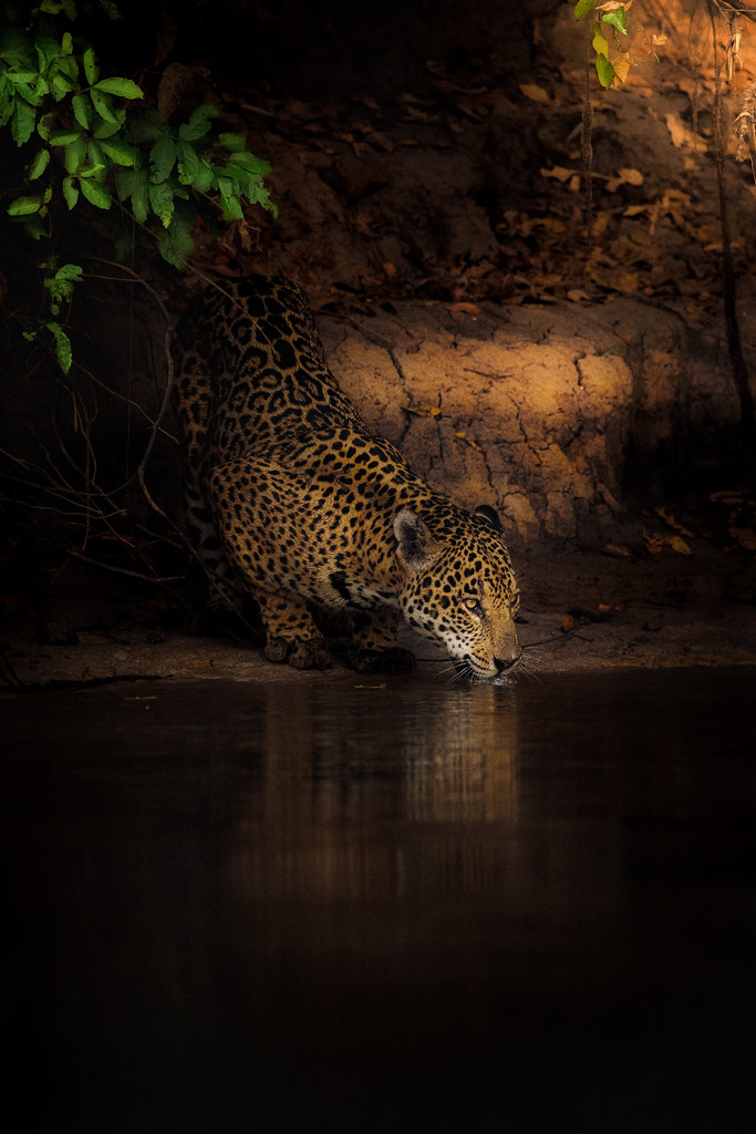 Time for the jaguar to drink water.