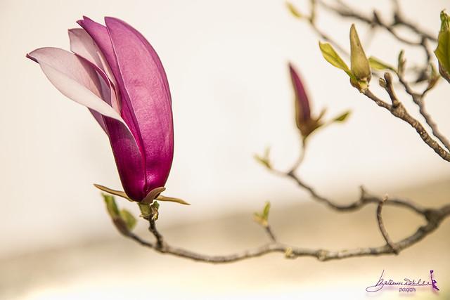 magnolia...sola