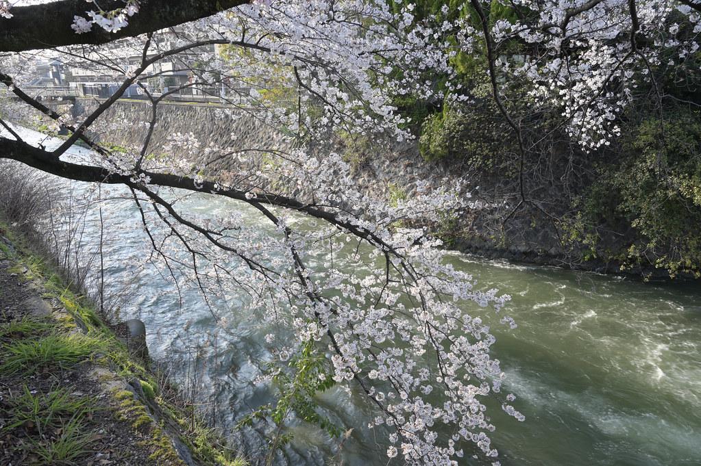 京都岡崎の2021年桜 6