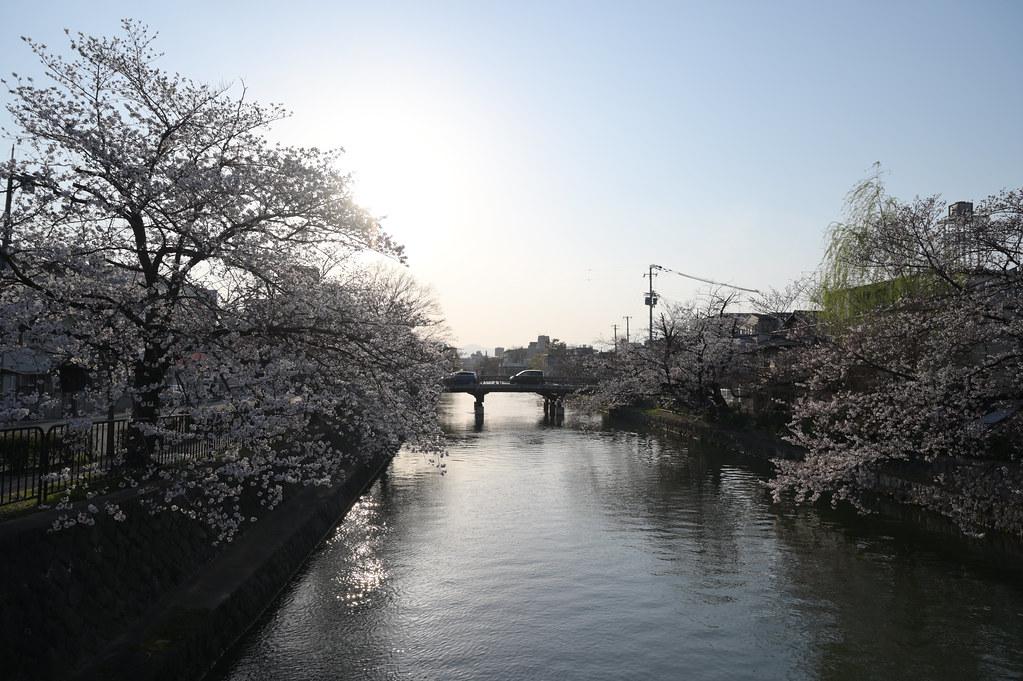 京都岡崎の2021年桜 5