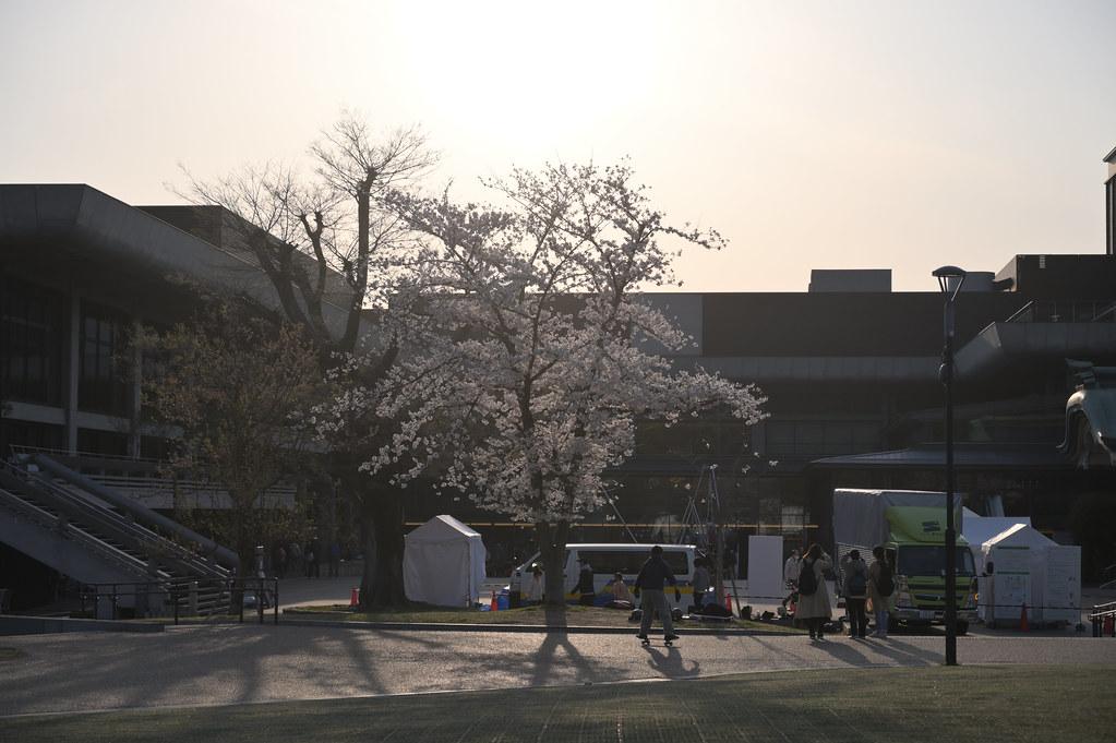 京都岡崎の2021年桜 4