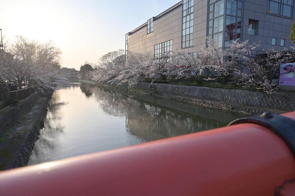 京都岡崎の2021年桜 11