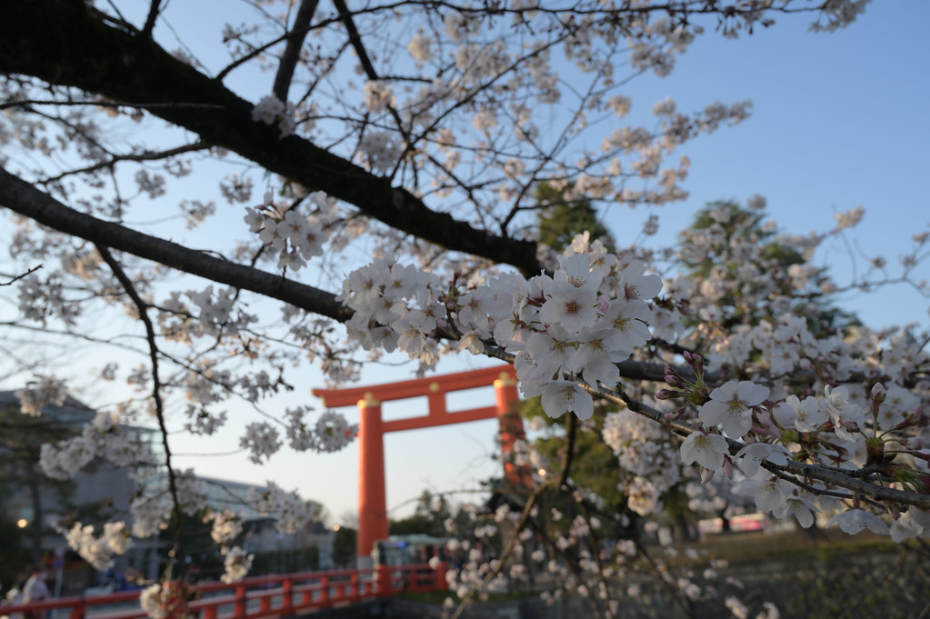 京都岡崎の2021年桜 3