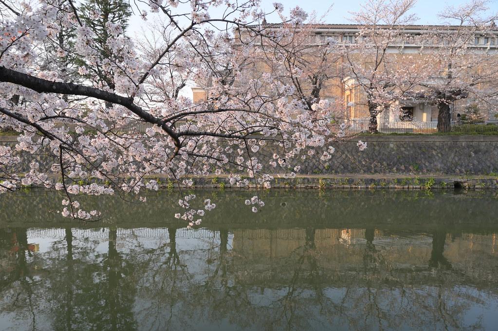 京都岡崎の2021年桜 12