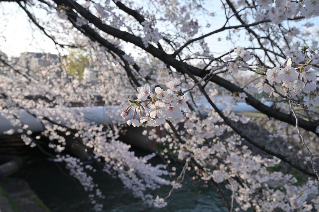 京都岡崎の2021年桜 8