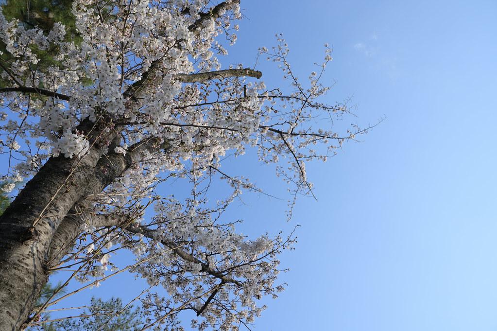 京都岡崎の2021年桜 10