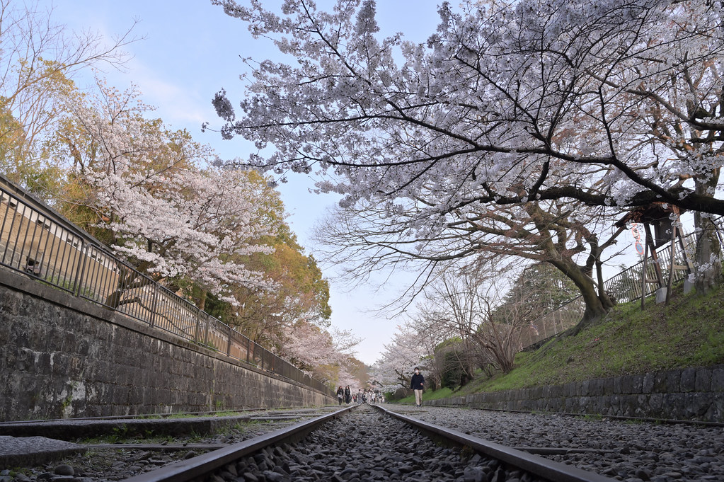 京都岡崎の2021年桜 1