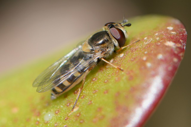 Another golden Syrphid Fly on a succulent leaf