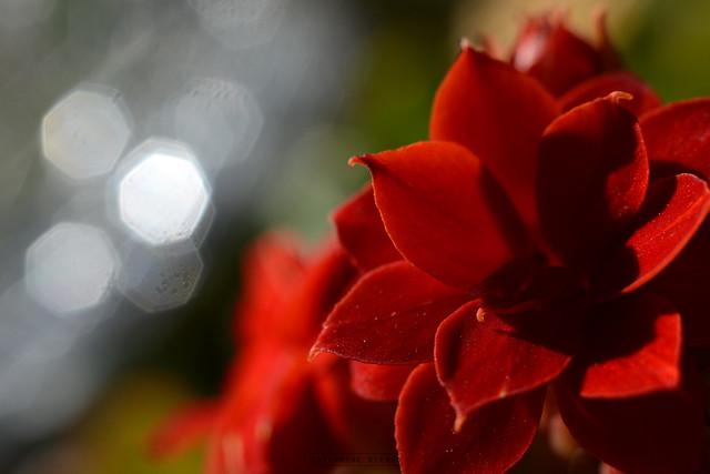 Kalanchoe - Calandiva - Red