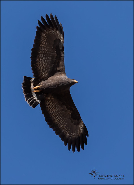 _45A3997 Common Black hawk ©Dancing Snake Nature Photography
