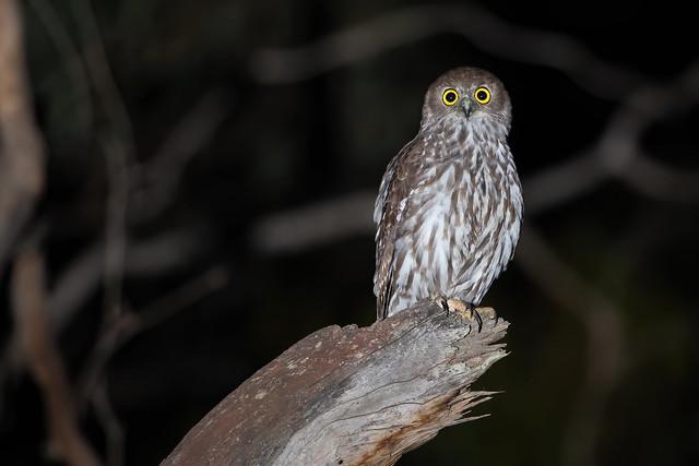 Barking Owl - Ninox connivens