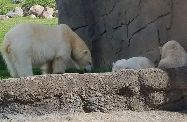 Columbus Zoo - Polar Bears